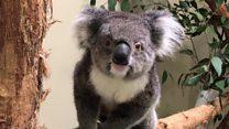 Bid to save koalas with 'back-up' Europe clan
