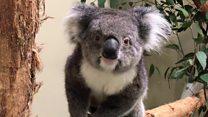 Meet Europe's new koalas