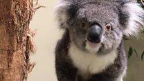 هجرة الكوالا من أستراليا لبريطانيا بحثا عن عيش آمن