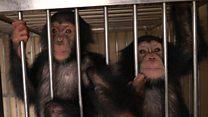 تحقيقات بي بي سي تساعد نيبال في كشف عمليات تهريب الشمبانزي