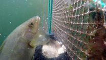 Concerns are being raised that stocks of wild wrasse are being put at risk to protect Scotland's salmon farms
