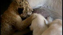 育児拒否された子ライオン 犬が母親代わりに