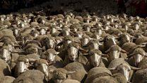 آلاف الخراف تتجول في شوارع مدريد