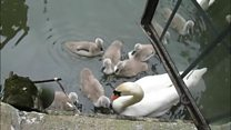 Moat service as swans ring bell for food