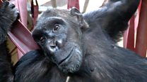Smuggled chimp rehomed after 15 years