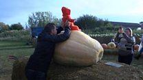 Giant pumpkins grown at Kent farm