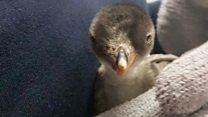 У однополой пары пингвинов впервые вылупился птенец