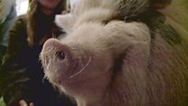 Why I need my 'emotional support' pig