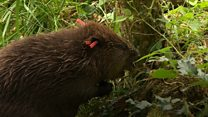 Beavers help prevent flooding
