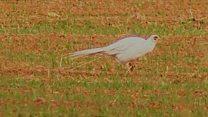 albino pheasant
