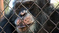 Chimpanzees 'get more room than people'