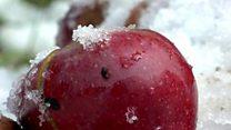काश्मीरातल्या बर्फवृष्टीत 50 कोटींची सफरचंद गोठली