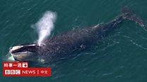 科技天地(粤语):怎样重新繁殖露脊鲸