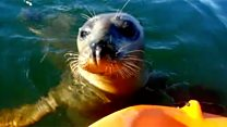 Baby seal plays with kayakers on river