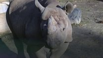 Endagered rhino leaves zoo for wild