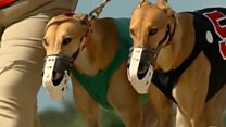 Racing greyhounds at risk after Florida vote