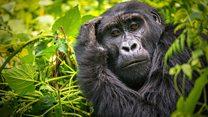 Click News: The tech to understand gorillas
