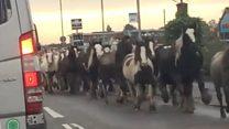 Ponies roam in rush hour traffic