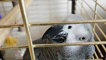 Попугай, который идеально имитирует телефонный звонок