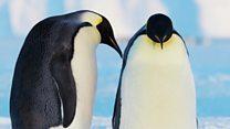 Зачем пингвины высиживают снег?