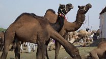 Why is India's largest camel fair struggling?