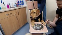 Poorly labrador eats meals from high chair