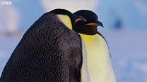 Навіщо пінгвіни гріють сніг?