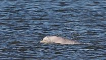 Benny the beluga: Two months in Thames