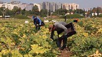 Muito trabalho, sem dinheiro e vivendo na sujeira: investigação da BBC revela trabalhadores tailandeses negligenciados em Israel