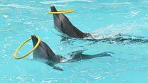 دلفینها باهوشتر از تصورند: کار تیمی میکنند