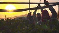 இஸ்ரேல் பண்ணைகளில் வதைபடும் தாய்லாந்து தொழிலாளர்கள் - பிபிசி புலனாய்வு