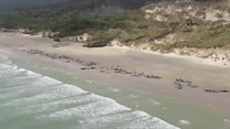 Mass whale stranding in New Zealand