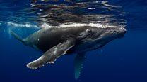 ¿Por qué las ballenas jorobadas cambian su canto?