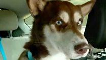 消えたハスキー犬、1年半ぶりに家族と再会 約1800キロ移動