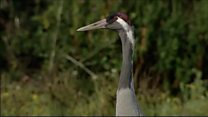 Bumper year for cranes in Somerset