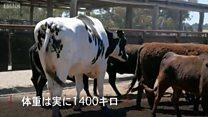 その名も「パンツ」 巨体で命拾いした牛