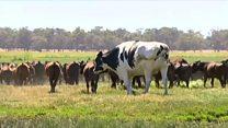 Хто найбільша корова у світі?