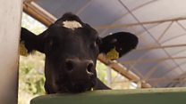 Meet the hi-tech healthy cows
