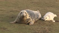 Seal pups at risk from toxic chemicals
