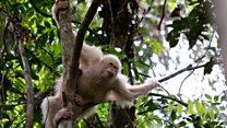 Albino orangutan back in the wild