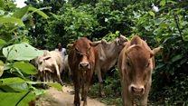 બાંગ્લાદેશ સીમા પર ગાયોની તસ્કરી