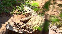 El hombre que tiene más de 40 cocodrilos en su jardín