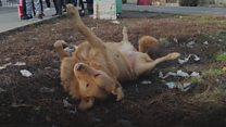 Psi u Batajnici