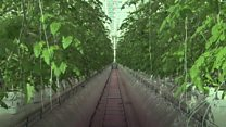 Inside the giant hi-tech tomato glasshouse