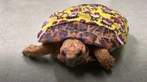 Rocky the tortoise has had a successful operation