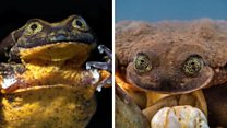 World's loneliest frog finds mate
