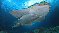 Rare angel shark spotted off Welsh coast