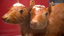 Two-headed calves helped war effort