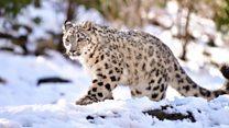 Menyelamatkan macan tutul salju dengan 'berburu' foto