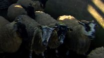 How are sheep exported across the Irish border?